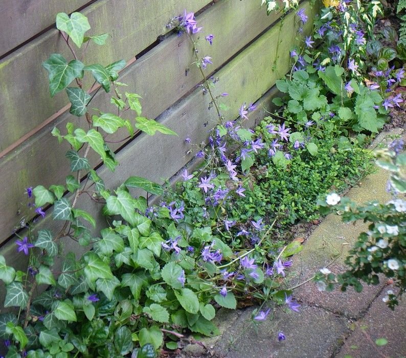 campanula, groene tuin, afscheiding containers